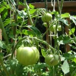 Texas Tomato Cages Are Great; Stakes Are Ok