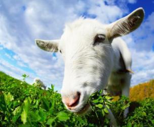 Hire a Goat Grazer